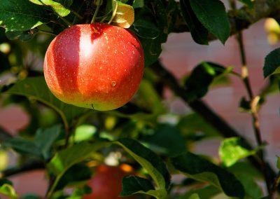 Poda i manteniment d'arbres fruiters i ornamentals